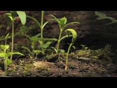 Sycamore seedling growing time lapse