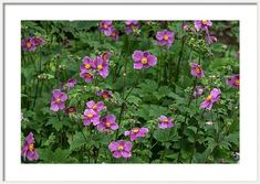 Jenny Rainbow Fine Art Photography Framed Print featuring the photograph Blooms Of Japanese Anemones 1 by Jenny Rainbow Framing Photography, Fine Art Photography, Framed Artwork, Framed Prints, Japanese Anemone, Anemones, Frame Shop, Art Techniques, Large Prints