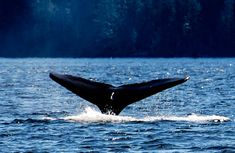 World Whale Day auf Maui – 15. Februar 2020: 15. Februar 2020: Immer am Samstag vor dem US-amerikanischen Presidents Day begeht man auf… Rettet Die Wale, Maui, Whale, Animals, Animales, Whales, Animaux, Animal, Animais