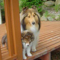 Sheltie with little brother