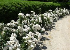 Ground cover iceberg roses, a great alternative for paths and driveways, especially for you, my friend. X