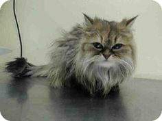 Adopted- Staten Island, NY - Persian. Meet MIMI a Cat for Adoption.