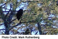 Fraser Valley Visitor Tips Fraser River, Fraser Valley, Bald Eagles, Habitats, Photo Credit, Natural, Tips, Nature, Counseling