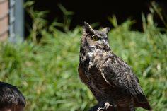 Horned Owl - Zoo