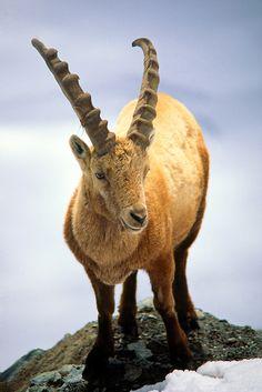 Ibex (mountain goat), near Zermatt, Switzerland. Shoulder height: 2-2 3/4 ft. Weight: Males, 165-265 lb. Females, 110-140 lb. Length: Body 4-5 ft. Tail 4 1/2 -6 in. Females smaller.