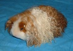 Texel Guinea Pig, a newer guinea pig breed, has a coat made up of curls throughout the body.  The coat is long and soft, and the body short & compact.