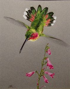 Green Hummingbird Southwest Plant and Wildlife