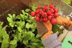 Radieschen-Ernte. Das Bild aus dem April hatten wir noch gar nicht gepinnt | Ländchenlust