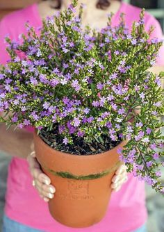 Monrovia's Mexican Heather details and information. Learn more about Monrovia plants and best practices for best possible plant performance. Landscaping Plants, Garden Plants, House Plants, Container Plants, Container Gardening, Beautiful Gardens, Beautiful Flowers, Heather Plant, Monrovia Plants