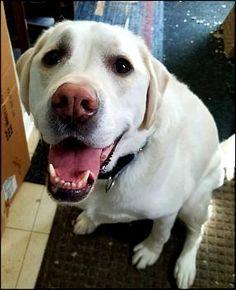#labradorretriever #labrador #labchatboard #retrievers