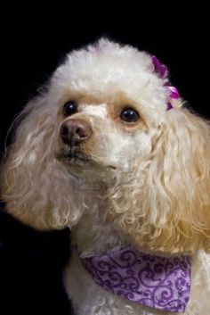 An apricot toy poodle poses iagainst a black background.