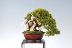 Chinesischer Wacholder (Juniperus chinensis), Höhe 19 cm. Bonsai Art, Bonsai Garden, Bonsai Trees, Juniper Bonsai, Tree Designs, Garden Sculpture, Natural, Japan, Outdoor Decor