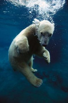 Polar Bear exhibits in San Diego during the summer make for a fun adventurous day!