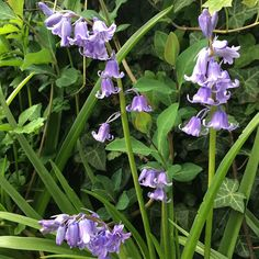 These are the first #bluebell #flowers of the #season. The #garden is full of them. I #love them and their soft blue hue.