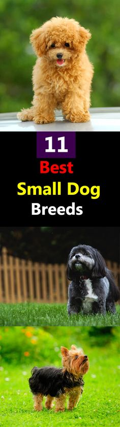 These 11 best small dog breeds are the most popular among pet lovers, their weight or size may vary but one thing is common-- they are lovable.
