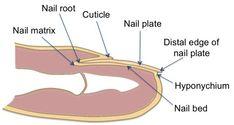 Nail Diagram - Bing Images
