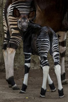 One of the newest additions to our family--a 19-day old okapi calf born to mother Safarani.