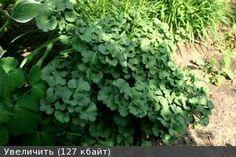 ginkgo biloba 'troll' - Google Search Dry Garden, Lawn And Landscape, Troll, Herbs, Google Search, Plants, Herb, Plant, Planets