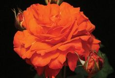 Bright Fire climbing rose...want
