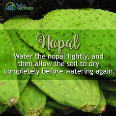 Nopal Water the Nopal lightly, and then allow the soil to dry completely before watering again. Grow Room, Hydroponics, Organic, Health, Water, Indoor Outdoor, Gardening, Gripe Water, Health Care