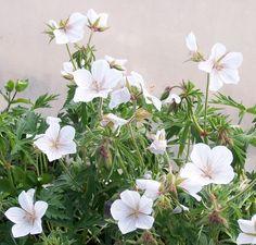 Buy Geranium clarkei Kashmir White (Cranesbill) online from Jacksons Nurseries