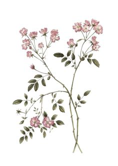 Best Flowers Illustration Poster Botanical Drawings 54 Ideas - Garden Design Tips Flowers Illustration, Illustration Blume, Floral Illustrations, Vintage Botanical Illustration, Botanical Flowers, Botanical Art, Illustration Botanique, Plant Tattoo, Botanical Drawings