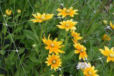 rudbeckia-prairie sun. medium/tall. $9.00/bunch