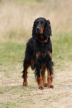 Gordon Setter. Our family had a mix of this dog and a German Shepard. He was the best dog in the world...well...there are a lot of those best dogs in the world! Barnaby used to herd the little kids away from the street at our ballfield. You all have stories.