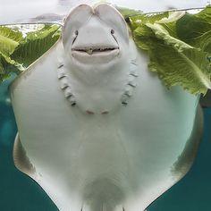your big smile,Columbus Zoo and Aquarium,stingray,photo by Thomas Alexander