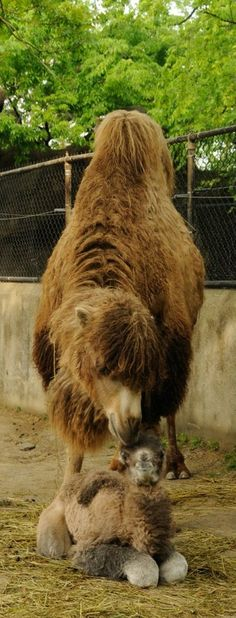 another cute picture of baby Bogart the Bactrian Camel