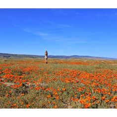 Caliparks : Antelope Valley California Poppy Reserve California Poppy, Valley California, Local Parks, Park Photos, Park City, Regional, Places Ive Been, Poppies, Mountains