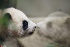 Panda Chulina makes her debut at Madrid zoo
