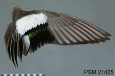 American Wigeon, 21425a, male, Dec :: Wing & Tail Image Collection