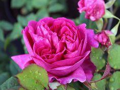 Englische Rose Young Lycidas ® Ausvibrant ® Züchter David Austin 2008
