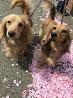 """Get terrific tips on """"Dachshund dogs"""". They are actually accessible for you on our website. Weenie Dogs, Dachshund Puppies, Dachshund Love, Cute Dogs And Puppies, Pet Dogs, Dog Cat, Dachshund Facts, Dachshund Drawing, Dachshund Tattoo"""