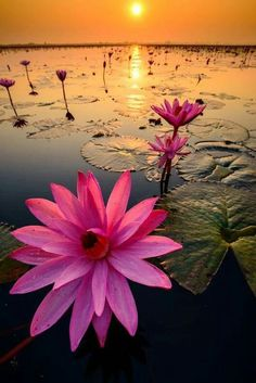 "nilminisaram: ""Pretty Water Lily. """