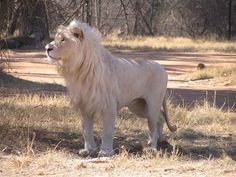 White lion male in Lion Park Johannesburg South Africa Lion And Lioness, Caracal, Albino, Animals Of The World, Exotic Pets, Big Cats, Animal Pictures, Places To Visit, Cute Animals