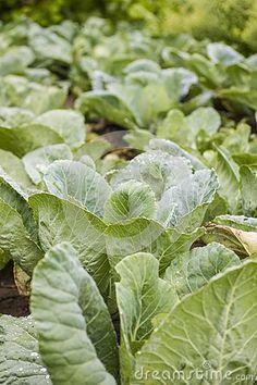Fresh Green Organic Cabbage Garden Field Stock Image - Image of greeny, summer: 145586945 Green Organics, Leaf Images, Fresh Green, Free Stock Photos, Plant Leaves, Cabbage, Vegetables, Garden, Plants