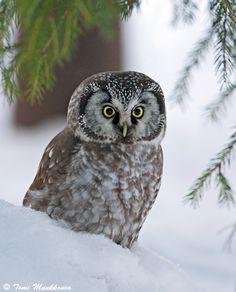 """HELMIPÖLLÖ Yleiskuvaus: Varpuspöllöä suurempi, pienehkö pöllö, jolla on """"hämmästynyt"""" ilme. Pää iso, päälaki tasainen. Selkäpuoli ruskea valkoisin pilkuin ja epäselvin, vaalein hartiajuovin. Alapuoli vaalea ruskein täplin."""