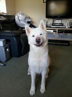 Akita, we had one name Mika, she was a great dog