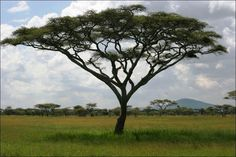 The savanna biome is mostly made up of grass but there are a few trees. Because of the availability of grass in the savanna, there are many grazing animals who take advantage of this abundant food. Grassland Biome, Savanna Grassland, African Tree, African Plants, Acacia, Savanna Biome, Fast Growing Trees, Elephant Art, Biomes