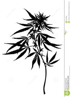 Cannabis Sativa Plant - Download From Over 38 Million High Quality Stock Photos, Images, Vectors. Sign up for FREE today. Image: 20275835
