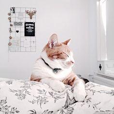Het zonnetje schijnt al lekker naar binnen, dus ik ga zo mijn bed uit en mijn tuin in. Laat het 'weekend' maar beginnen! Fijne dag lieve volgers! #cat #redcat #pepe #petsofinstagram #morning #witwonen #moodboard #celebrate #nogeveninbed #natural #instahome #instainterior #bedroom #underthecovers #wakingup #blackandwhite #zwartwitenhout
