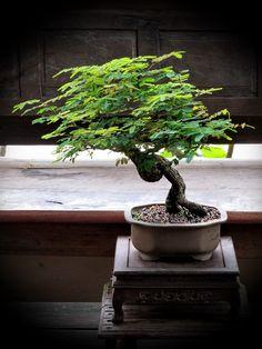 Thanks nature's Hobby : Bonsai บอนไซ shohin mame miniature Bonsai Tree Types, Bonsai Tree Care, Indoor Bonsai Tree, Bonsai Art, Bonsai Plants, Bonsai Garden, Tamarindus Indica, Mame Bonsai, Design Jardin