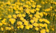 Golden asters (Galatella linosyris) lead a cavalcade of rare and beautiful plants