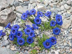 alpine flor - Pesquisa Google