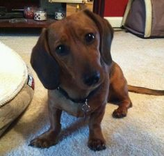 Looks just like my Ruby and her typical concerned look. Dachshund puppy