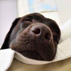 #labrador #nose #brown #chocolate #lab #cute #sleep