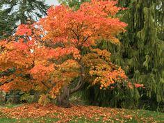 Glorious Autumn hues at Harlow Carr