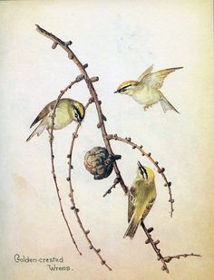 Goldcrests- Morning Earth Artist/Naturalist Edith Holden